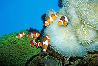 The colorful Clown Anemonefish is a popular attraction at the Waikiki Aquarium.