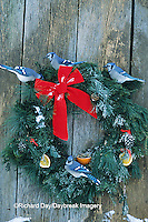 01288-02711 Blue Jays (Cyanocitta cristata) on holiday wreath made for birds on barn door in winter, Marion Co.  IL