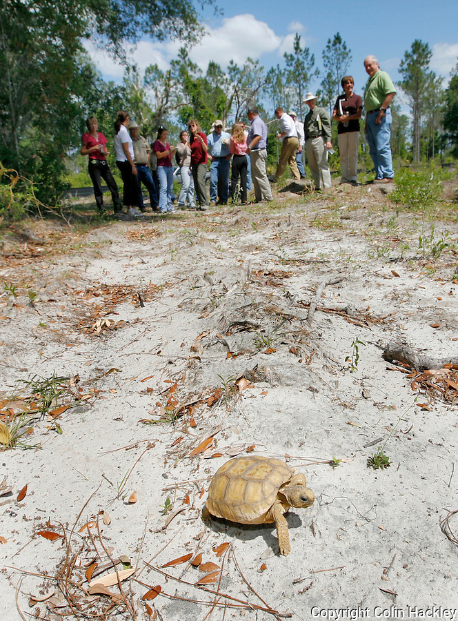 GAINESVILLE, FL. 4/28/09-GOPHERHOME CH6-A juvenile Gopher Tortoise sets off into it's permanent new home, Tuesday on the Lochloosa Conservation Easement south of Gainesville. Representatives of Plum Creek, The Florida Fish and Wildlife Conservation Commission, The St. John's River Water Management District and Alachua County environmental officials celebrated the opening of the first relocation site permitted under new regulations to protect the threatened species. ..COLIN HACKLEY PHOTO