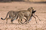 Cheetah (Acinonyx jubatus) dragging baby common wildebeest kill (Connochaetes taurinus) to cover, Kgalagadi Transfrontier Park, South Africa, January 2014