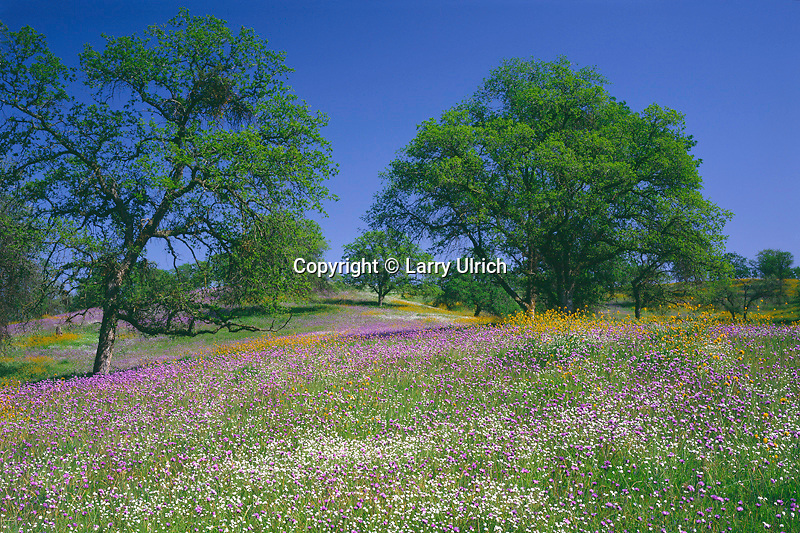 Popcornflowers, fiddlenecks, blue dicks<br />