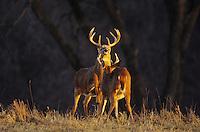 White-tailed Deer (Odocoileus virginianus), bucks fighting, Minnesota, USA
