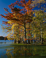 Horseshoe Lake Conservation Area, IL: Reflections of Bald Cypress and Tupelo trees in fall color on the calm surface of Horseshoe Lake