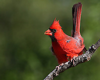 Here one can see the gusty winds effect in the cardinals plumage and stance..