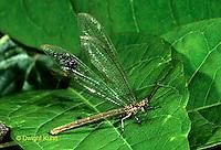 1L51-008a   Antlion adult  -  Myrmeleon crudelis.