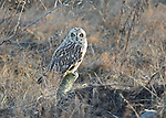 Short-eared owl at Boundary Bay foreshore