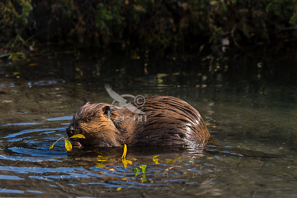 North American Beaver (Castor canadensis) feeding on twigs and leaves.  British Columbia, Canada.  Fall.