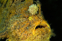 Antennarius hispidus, Zottiger Anglerfisch mit grosser Esca, Kroetenfisch, Shaggy anglerfish with large Esca, frogfish, Secret Bay, Gilimanuk, Bali, Indonesien, Indopazifik, Indonesia, Asien, Indo-Pacific Ocean, Asia