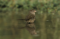 Olive Sparrow, Arremonops rufivirgatus,adult bathing, Starr County, Rio Grande Valley, Texas, USA, May 2002