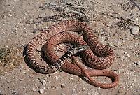 Red Racer; Coluber flagellum piceus; Arizona;