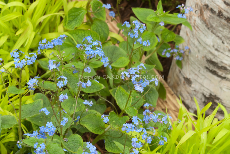 Forget me nots with gold Hakon grass in spring bloom next to birch tree