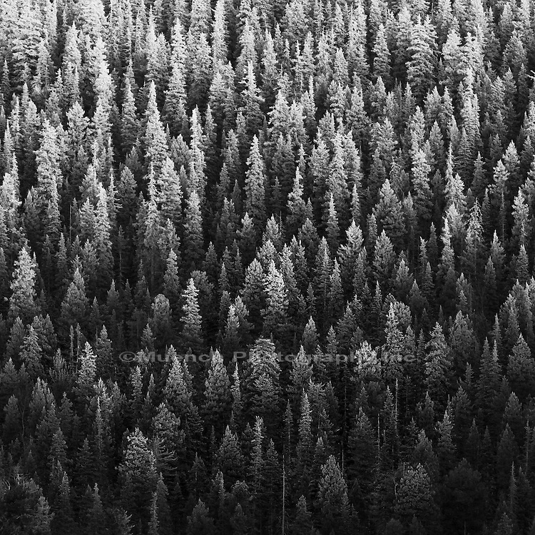 Pine trees, Santa Fe National Forest