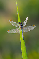 A dew-covered male Little Blue Dragonlet (Erythrodiplax minuscula) perches on a blade of grass while waiting for the sun to heat up wings in the early morning.