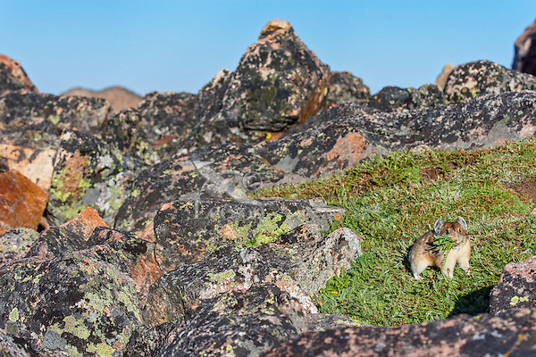"American pika (Ochotona princeps) gathering ""hay"" for its haypiles--winter food supply near its boulder field home.  Beartooth Mountains, Wyoming/Montana.  Summer.  This photo was taken in alpine setting at around 11,000 feet (3350 meters) elevation."