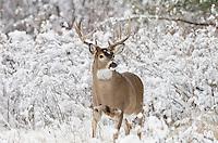 White-tailed Deer buck (Odocoileus virginianus), Western U.S., November.