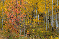 Maple in Aspen Grove