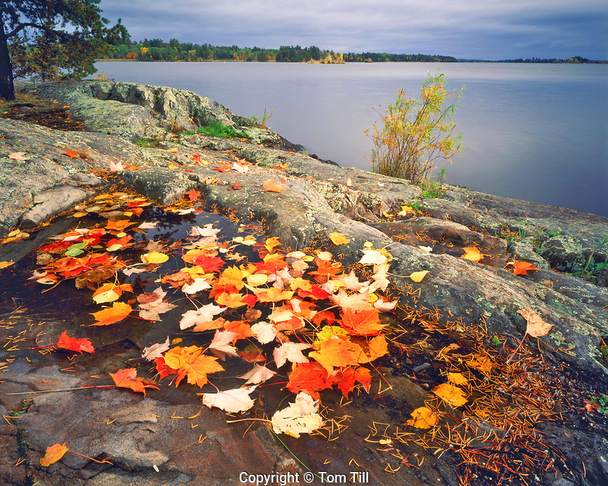 Autumn Leaves on a Rocky Shore, Rainy Lake, Voyageurs National Park, Minnesota