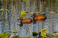 Two Cinnamon Teal males in breeding plumage, spring, Klamath Marsh NWR, OR. Yellow lily.