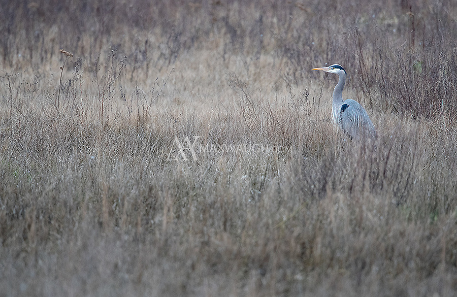 Great blue herons commonly hunt in the meadows along Boundary Bay.