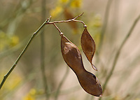 Seed pod of blue palo verde, Cercidium floridum, Algodones Dunes, Imperial County, California
