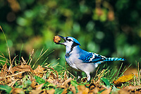 blue jay, Cyanocitta cristata, adult with pecan nut, San Antonio, Texas, USA, North America