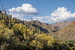 Sabino Canyon Recreation Area, Tucson, Arizona; the canyon floor is covered with yellow flowering palo verde bushes and saguaro cactus, with afternoon storm clouds forming over the distant mountains