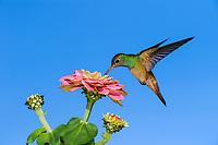 Buff-bellied Hummingbird (Amazilia yucatanensis), adult in flight feeding on Zinnia, Sinton, Corpus Christi, Coastal Bend, Texas Coast, USA, North America