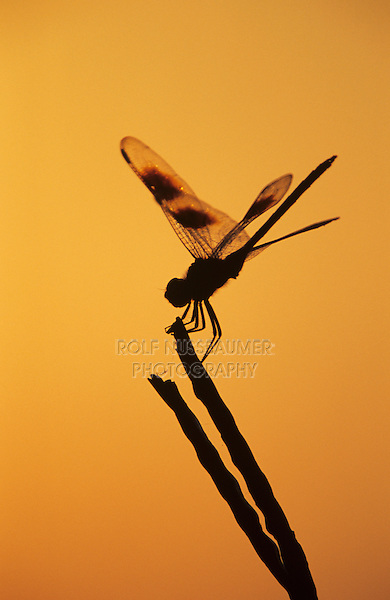 Four-spotted Pennant, Brachymesia gravida, adult at sunrise, Welder Wildlife Refuge, Sinton, Texas, USA, May 2005