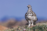 White-tailed Ptarmigan,Lagopus leucurus,adult male in summer plumage on alpine tundra, Rocky Mountain National Park, Colorado, USA