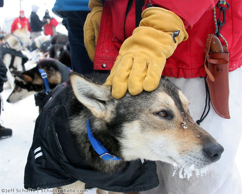 Mitch Seavey absent-mindedly pets his lead dog, Payton, as he talks about his race at the finish line. Photo by Jon Little.