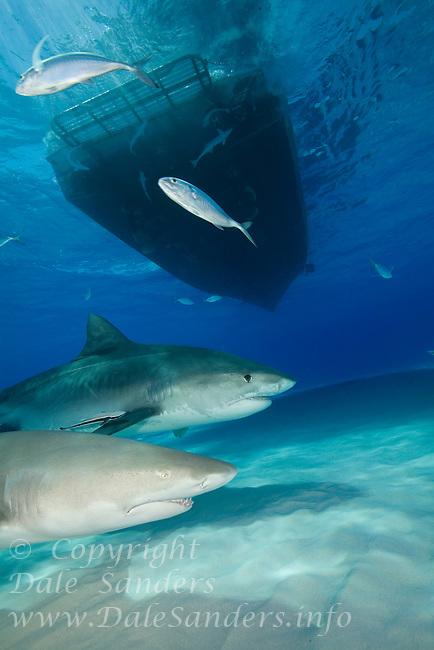 Tiger Shark (Galeocerdo cuvier) and Lemon Shark (Negaprion brevirostris) in the Bahamas.