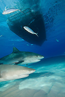 Tiger Shark (Galeocerdo cuvier) and Lemon Shark (Negaprion brevirostris) in the Bahamas.
