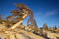 Western Juniper, Juniperus occidentalis, Olmstead Point, Sierra Juniper, Tioga Pass, Yosemite National Park