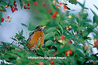 01382-045.07 American Robin (Turdus migratorius) in Shadblow Serviceberry bush (Amelanchier canadensis) Marion Co.  IL