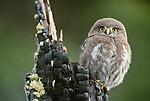 Ferruginous pygmy-owl, Patagonia, Argentina, South America