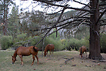 horses east of Ebbetts pass