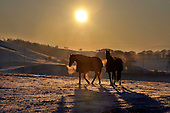 22 years on, horses graze under a winter sun on a snow-covered Tundergarth Hill, near Lockerbie, Scotland, on the spot where the nose section of Pan Am flight 103 came to ground on 22nd December 1988, a crash which claimed the lives of 270 on the aircraft and town - picture by Donald MacLeod 20.12.10 - mobile 07702 319 738 - clanmacleod@btinternet.com - www.donald-macleod.com