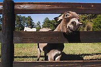 Domestic Donkey (Equus asinus), Burro looking through fence, North Carolina, USA