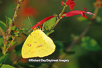 03091-00419 Cloudless Sulphur butterfly (Phoebis sennae) female on Pineapple Sage (Salvia elegans) Marion Co.  IL