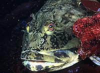 Cabezon portrait Cabezon - Scorpaenichthys marmoratus