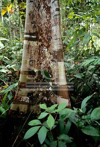 Juruena, Mato Grosso state, Brazil. Base of a rainforest tree with silvery stripey bark.