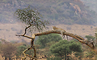 Leopard (Panthera pardus) lounges on an acacia limb, Northern Serengeti