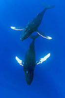 humpback whales, Megaptera novaeangliae, male escorting female underneath, courtship behavior, Hawaii, USA, Pacific Ocean