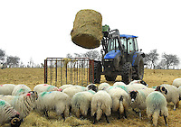 Eric Blacklock, Ulwith Farm, Catterick Garison, Yorkshire.....Feeding Swaledale twin bearing ewes on the Army moor land.