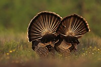 Wild Turkey, Meleagris gallopavo,males displaying, Lake Corpus Christi, Texas, USA