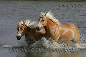 Bob, ANIMALS, REALISTISCHE TIERE, ANIMALES REALISTICOS, horses, photos+++++,GBLA3699,#a#, EVERYDAY