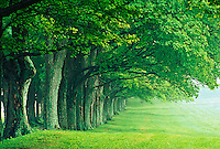 Row of stately trees, Louisville, Kentucky....Row of stately trees, Louisville, Kentucky