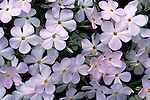 Close-up of phlox