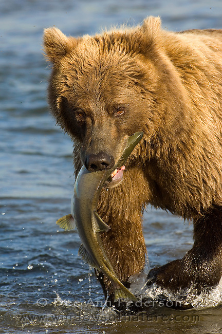Coastal brown bear with silver salmon catch in the brackish waters of a stream on the oceans edge of the Alaska Peninsula.