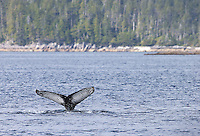 Humpback whales are always a welcome sight.  They've been returning to this area in increasing numbers in the last couple decades.